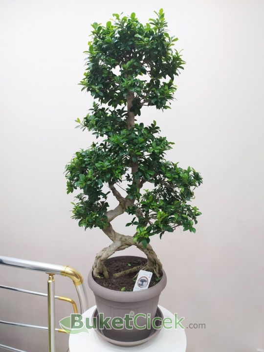 Örgü Ficus Gingseng Bonsai